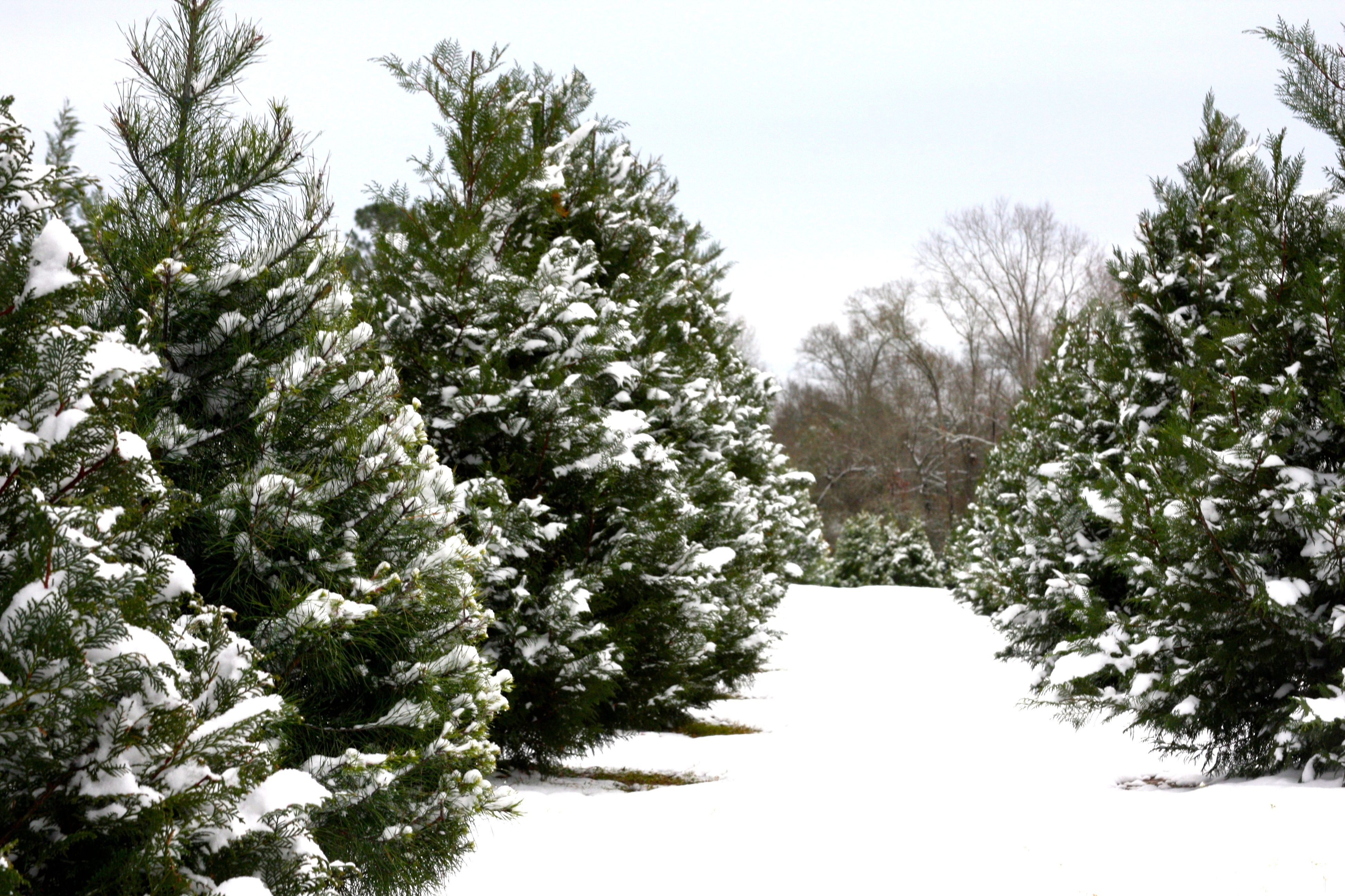 christmas tree farm coloring pages